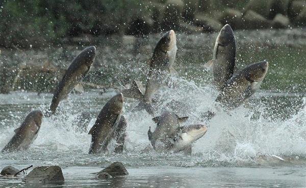 《ハクレン》体長1メートルを超える巨大魚がジャンプする「ハクレンとは?」まとめ
